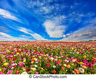 Cirrus thin clouds - Spring in Israel. Cirrus thin clouds. ...