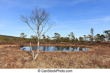 Spring in the forest, swamp with Birch tree in front of a pond Norway