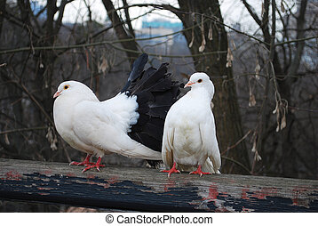 in the park, sitting on a branch perch pair of doves