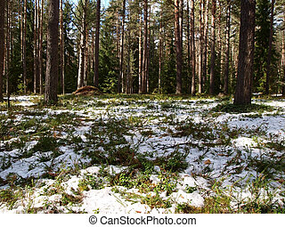 Spring in the pine forest