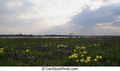 Spring iris flowers in steppe