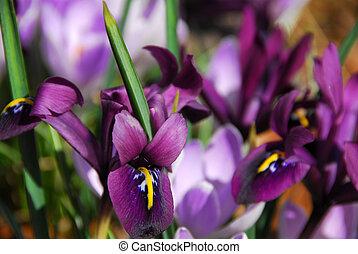 Spring irises, shallow dof