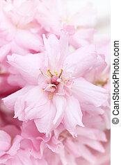 Spring Japanese cherry blossom
