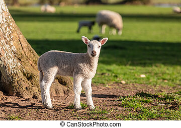 Spring Lamb Baby Sheep in A Field