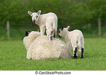 Sheep lying down in a field in spring with one of her lambs standing on top of her and the other standing next to her.