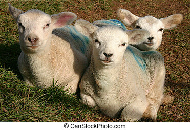 Spring Lambs - Three spring lambs hiddled in a group.