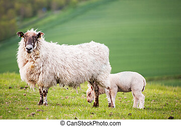 Spring lamd and ewe mother in Spring rural farm landscape
