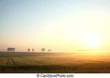 Corn field on a foggy, cloudless morning