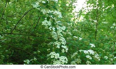 White flowering shrub Spirea aguta - Spring landscape....