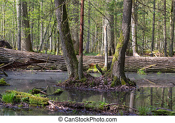 Spring landscape of old forest and broken trees