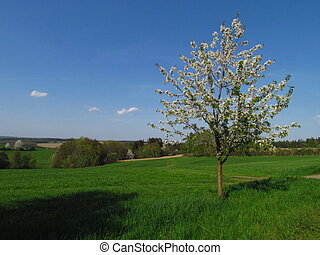 Spring landscape with a small flowering tree on the edge of a green meadow, young cherry
