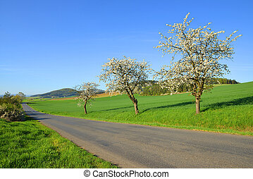 Blooming cherry trees growing along the asphalt road.