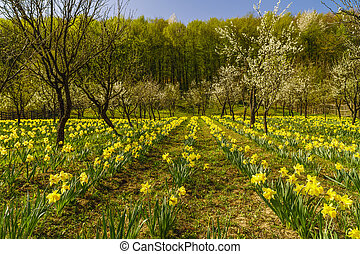 Spring landscape with daffodils among trees on a hill