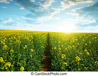 Spring landscape with field of rapeseed