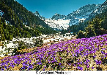 Spring landscape with purple crocus flowers, Fagaras mountains, Carpathians, Romania