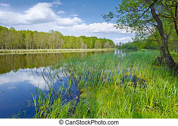 Spring landscape with Sweet Flag in The Narew River.