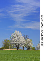 Spring landscape with white flowering trees and blue sky