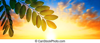 Spring leaf of Acacia tree at sunset.