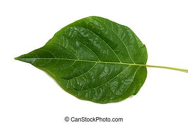 Spring leaf on white