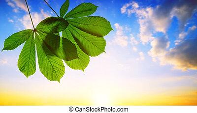 Spring leaves of chestnut tree (Aesculus hippocastanum)