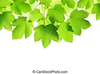 Spring leaves of maple tree