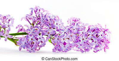 Spring lilac flowers blooming. Isolated on white, banner. -...
