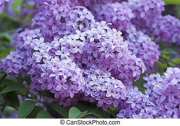 Spring lilac flowers - Branch of lilac flowers with green ...
