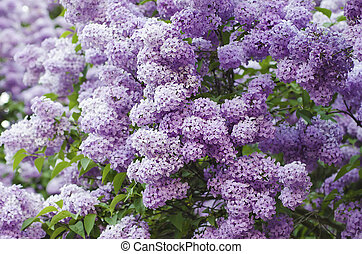 Spring lilac flowers - Branch of lilac flowers with green...