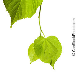 Spring linden-tree leafs isolated on white