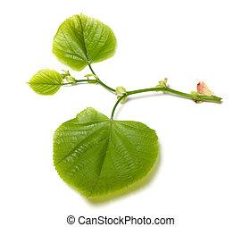 Spring linden-tree leafs