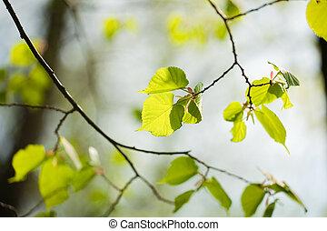 Spring linden tree leaves