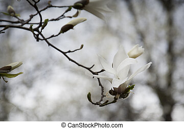 Spring magnolia branch in the park.
