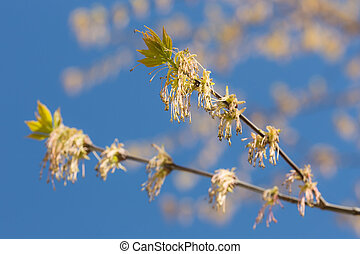 Spring maple branch