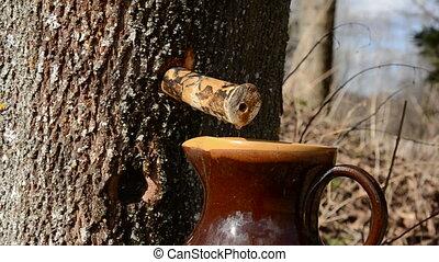 maple fresh sap drops - spring maple fresh sap drops in the...