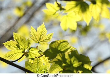 Spring maple leaves against the blue sky