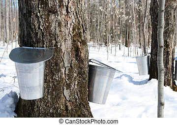 Maple syrup season. Pails on trees for collecting maple sap to produce maple syrup.