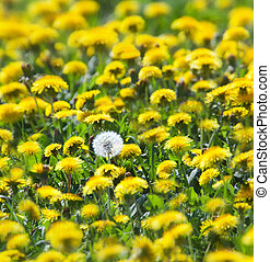 spring meadow full of yellow dandelions with one withered white