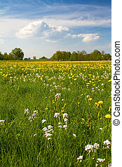 Spring meadow with blooming dandelion (Taraxacum)