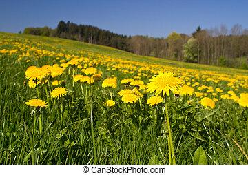 Spring meadow with blooming dandelion (Taraxacum)