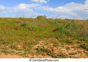 Spring meadow with  blossoming of red anemones flowers