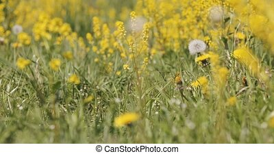 spring meadow with dandelions in fresh breeze, tranquil...
