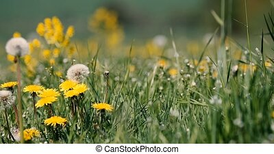 spring meadow with dandelions
