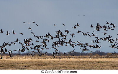 Spring migration of birds.