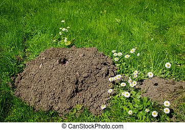 spring mole and molehill in the garden white flower