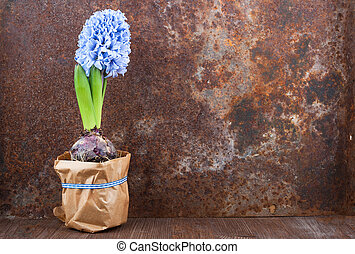 Hyacinth against old rusty iron background
