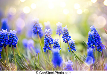 Spring muscari hyacinth flowers. Spring nature background with blue blossoming flowers closeup