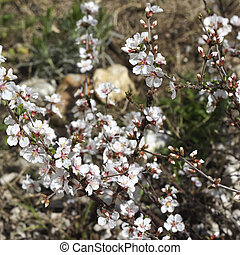 Spring Nanking cherry blossom
