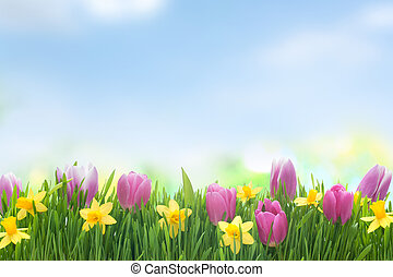 Spring narcissus and tulips flowers in green grass on blue...