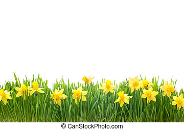 spring narcissus flowers in green grass isolated on white...