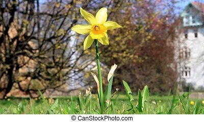 Spring narcissus in the wind